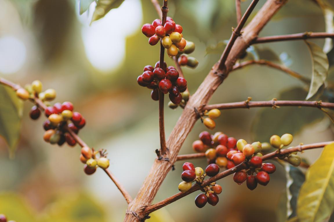 Kaffeepflanze auf der Big Island Hawaii