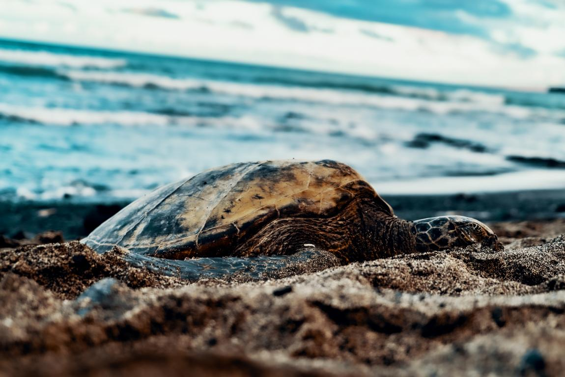Schildkröte am Strand in Hawaii